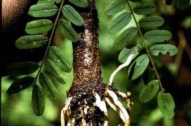 pygeum ekstrakt kore afričke šljive