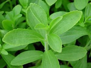 stevija biljka