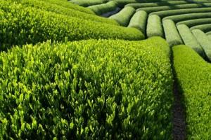 polje zelenog caja